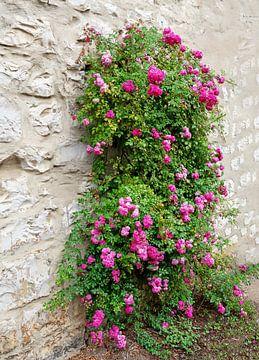 Pinke Kletterrose an einer Mauer von ManfredFotos