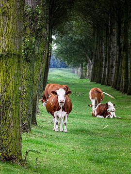 Koeien van Scholtes Fotografie