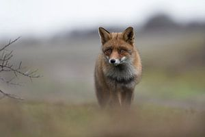 Red Fox ( Vulpes vulpes ) in winter fur, coming up a hill