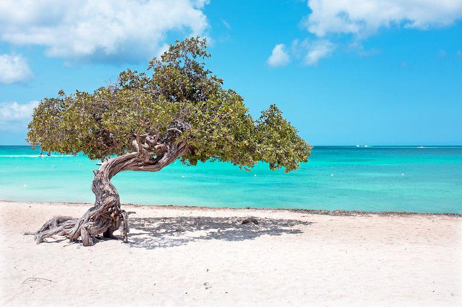 Divi divi tree on Aruba island in the Caribbean Sea van nilaya van vliet