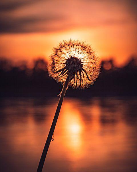 Pusteblume im Abendlicht von Marcus Lanz
