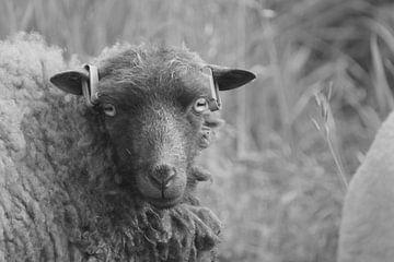 Das Aussehen eines Schafes von Niek Traas