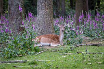 Damhert in de bossen van