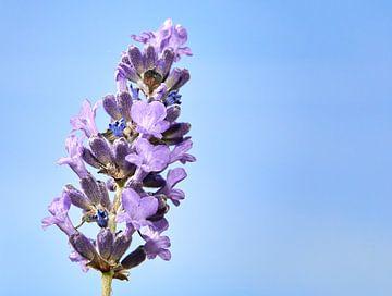 Lavendel von Graham Forrester