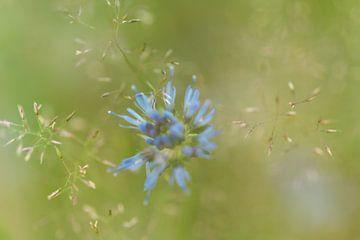 Een blauwe veldbloem in een grasveld