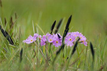 Paarse bloemen tussen het groene gras in de Zwitserse bergen van Michel Geluk