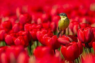 Gele Kwikstaart op tulpenveld van