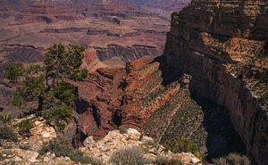 Utah Jeneverbesboom