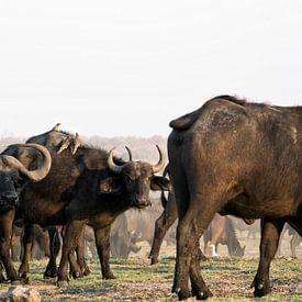 De Afrikaanse buffel of Kaapse buffel in de Okavango Delta, Botswana, Afrika van Tjeerd Kruse