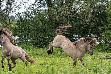 Bokkend konikpaard van Diantha Risiglione