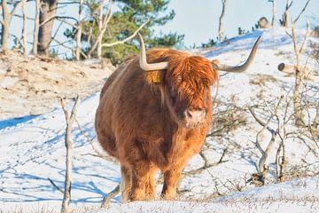 Schottischer Highlander von Wendy Tellier - Vastenhouw