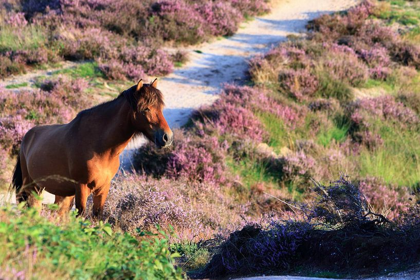 Paard op de bloeiende Posbank heide van Bobsphotography