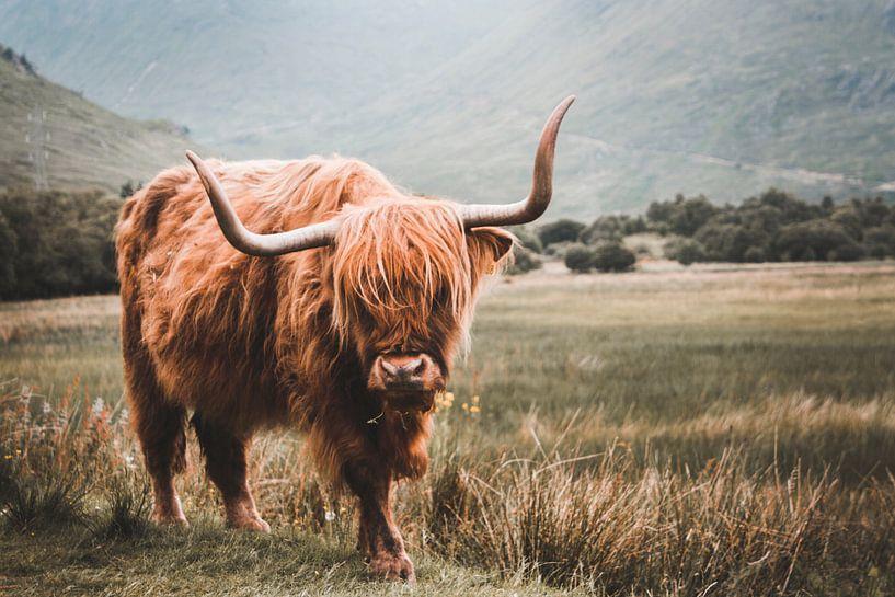 Schottische Highlander weiden in Schottland von Abby's Voyage