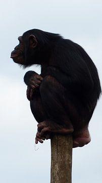 chimpansee aap van Gonnie van Hove
