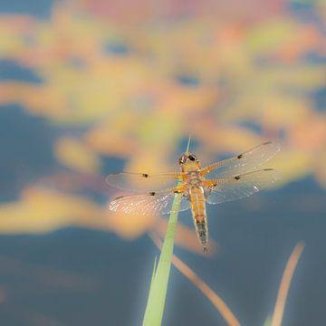 Libelle in Friesland von Jacintha Van beveren
