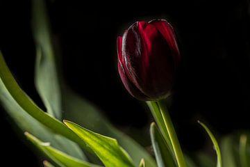 Tulp sur Geert-Jan Timmermans