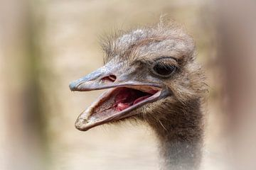 Struisvogel van Rob Boon