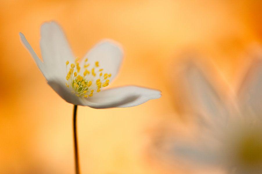 Anemone Delight