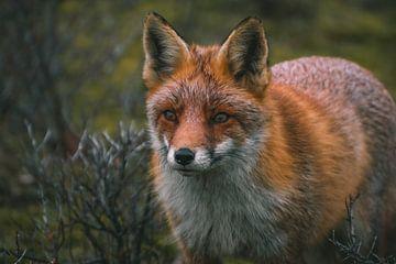 Nahaufnahme eines Fuchses von Arisca van 't Hof