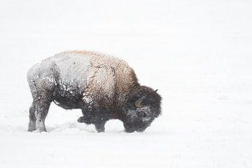 Amerikanischer Bison ( Bison bison ), Schnee und Eis verkrustet, bei der Nahrungssuche, Yellowstone, von wunderbare Erde