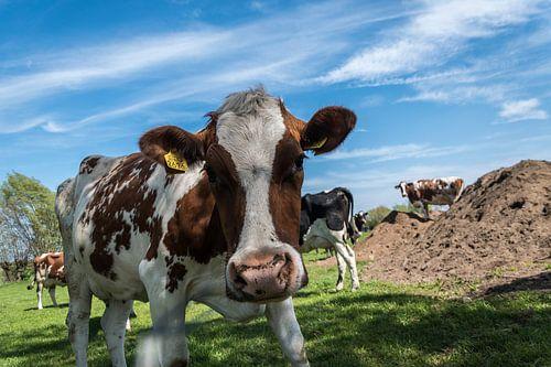 Holstein roodbont koe