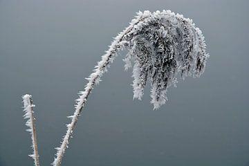 Plant met ijs rijp in de winter van Trinet Uzun