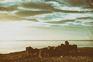 Icelandic horses sur Islandpferde  | IJslandse paarden