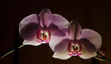orchidee  van Eugene Lentjes