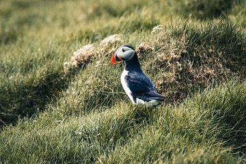 Papageientaucher im Gras auf Mykines, Färöer-Inseln von Expeditie Aardbol