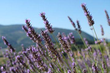 Lavendel von Myrte Wilms