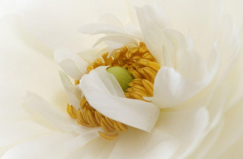 Witte Ranonkel van LHJB Photography