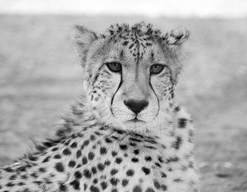 Gepard, schwarz-weiß von Leo van Maanen