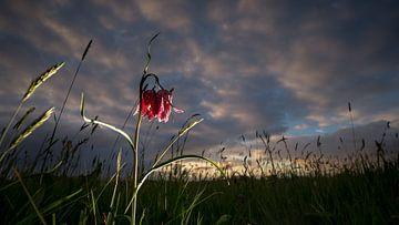 Wilde kievitsbloemen  bij zonsondergang in het veld van Fotografiecor .nl