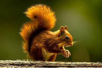 Eichhörnchen von Christophe Van walleghem
