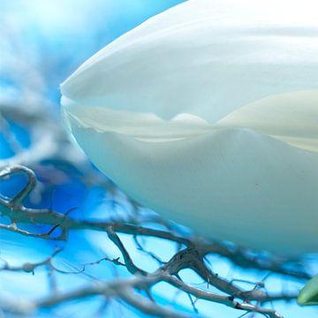 Nahaufnahme einer weißen Tulpe von Karel Ham
