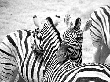 Portret Zebra in Namibië, in zwart wit van