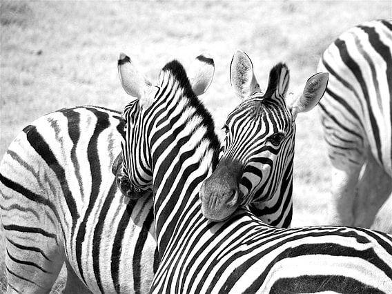Portret Zebra in Namibië, in zwart wit