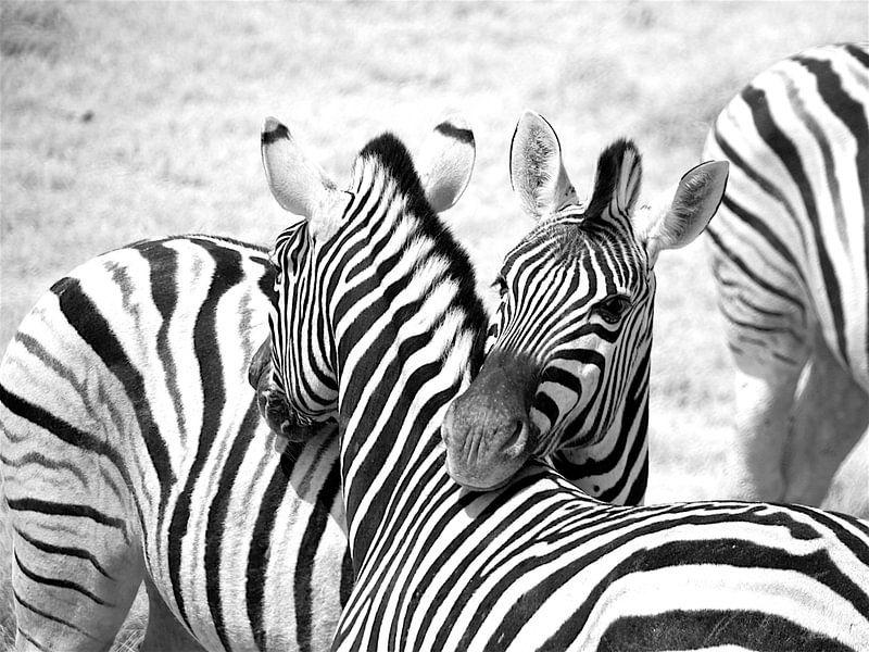 Portret Zebra in Namibië, in zwart wit van Sabine De Gaspari