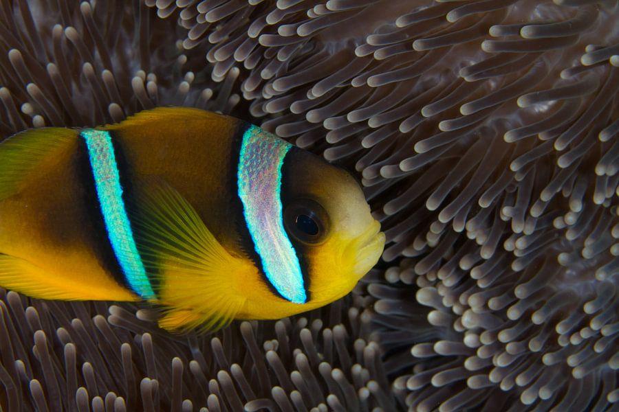 Clownfish in anemoon