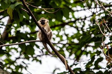 singe dans l'arbre près du Nil en Ouganda sur Eric van Nieuwland
