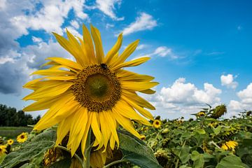 Zonnebloem op een mooie zomerdag van Lex van Doorn