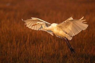 Landung des Silberreiher von Albert Eggens