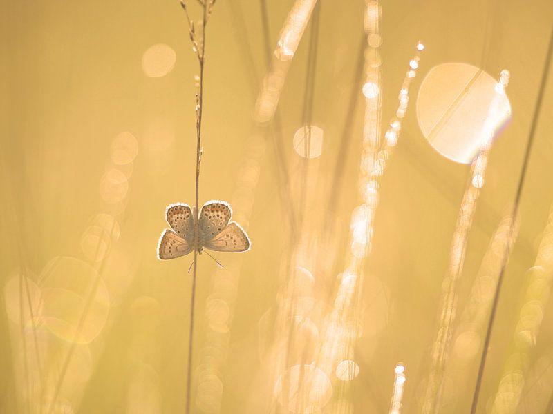 Heideblauwtje bij zonsopkomst