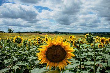 Eine Sonnenblume nickt Ihnen zu von Hugo Braun