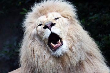 Witte leeuw sur Richard Kuipers