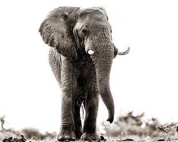 Onderzoekende blik van een olifantbul van