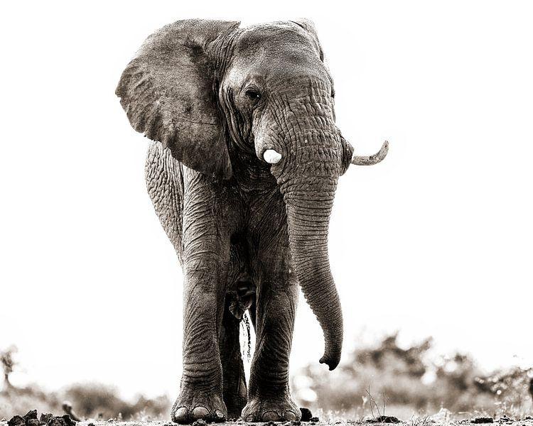 Onderzoekende blik van een olifantbul van De Afrika Specialist