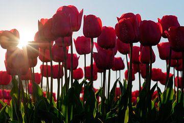 Zonnige tulpen van Nicolette Schuur
