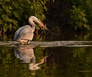 Fischreiher im Licht der Abendsonne fischen von Marjolein van Middelkoop