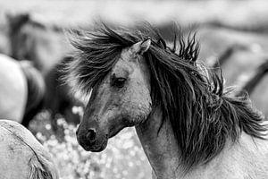 Schwarz-Weiß-Aufnahme eines Konik-Pferdes